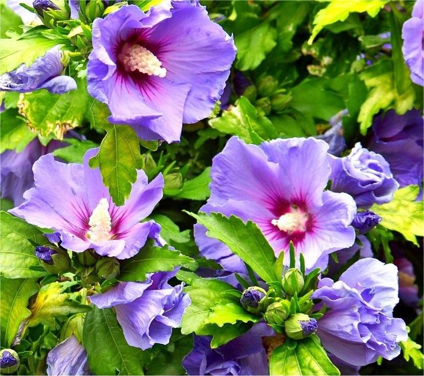hibiscus syriacus blue bird oiseau bleu