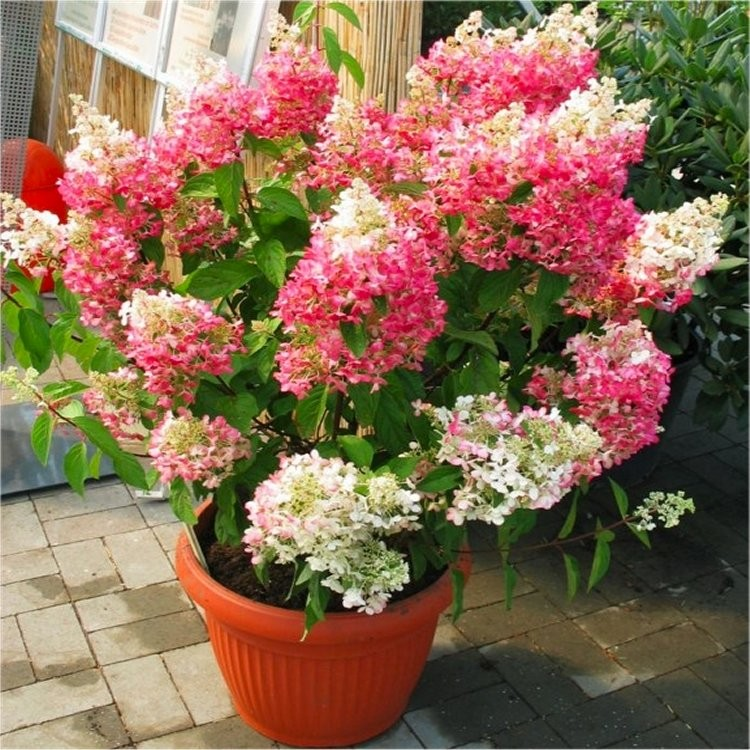 hydrangea paniculata pinky winky extra large flowering plant. Black Bedroom Furniture Sets. Home Design Ideas