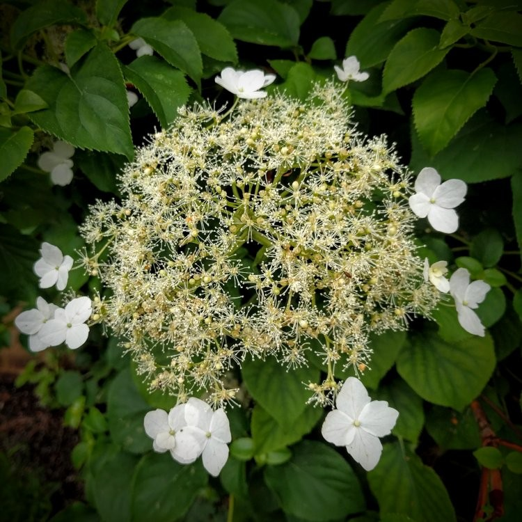 Hydrangea Petiolaris Climbing Hydrangea Pack Of Three