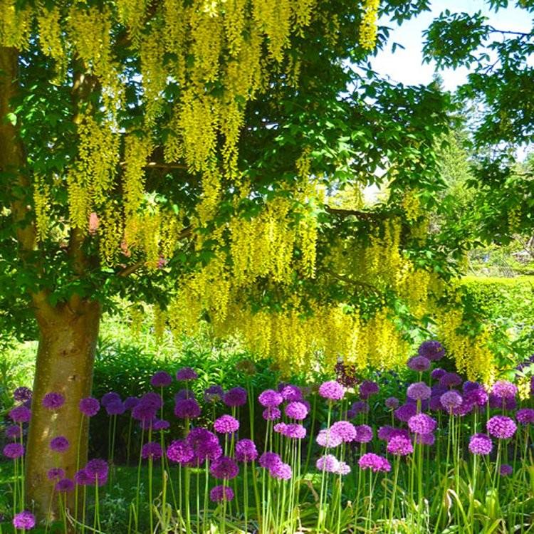 x watereri Vossii Voss laburnum Golden Rain Tree