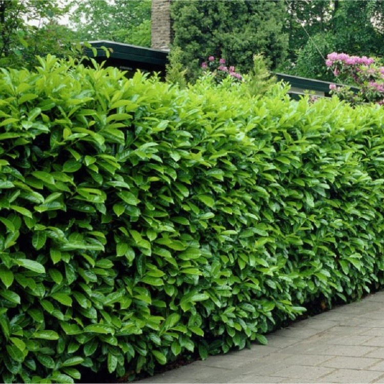 laurel hedging prunus laurocerasus rotundifolia. Black Bedroom Furniture Sets. Home Design Ideas