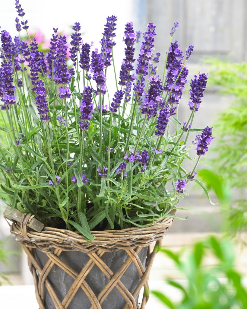 Bulk pack lavendula angustifolia hidcote english lavender hidcote blue pack of ten plants - Growing lavender pot ...