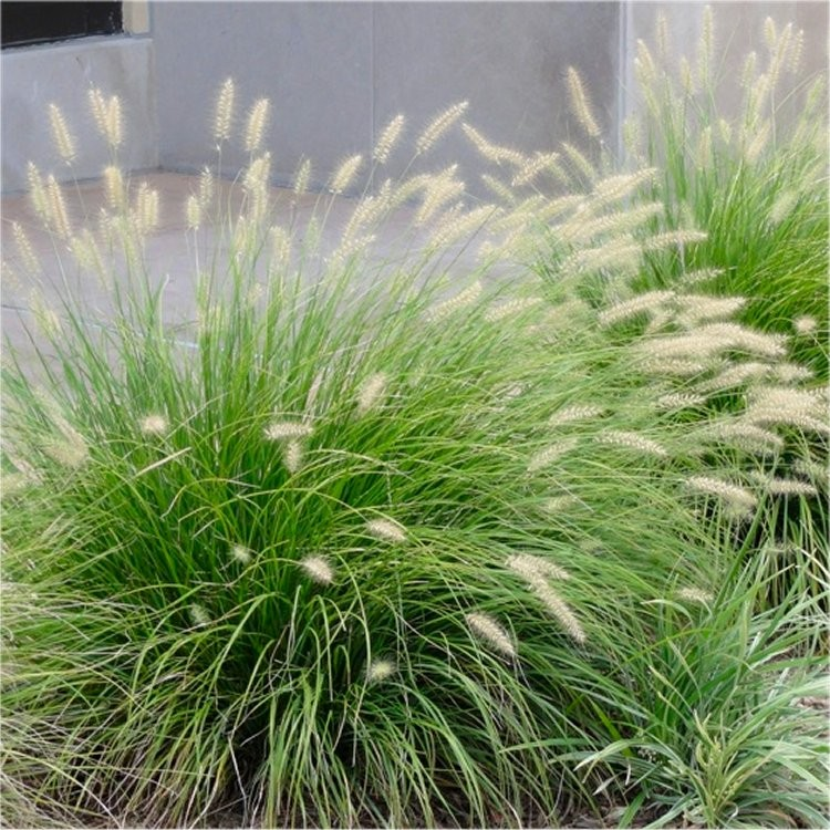 Special deal pennisetum alopecuroides 39 little bunny for Hardy fountain grass