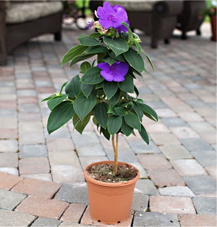 Tibouchina Urvilleana Princess Flower Patio Tree