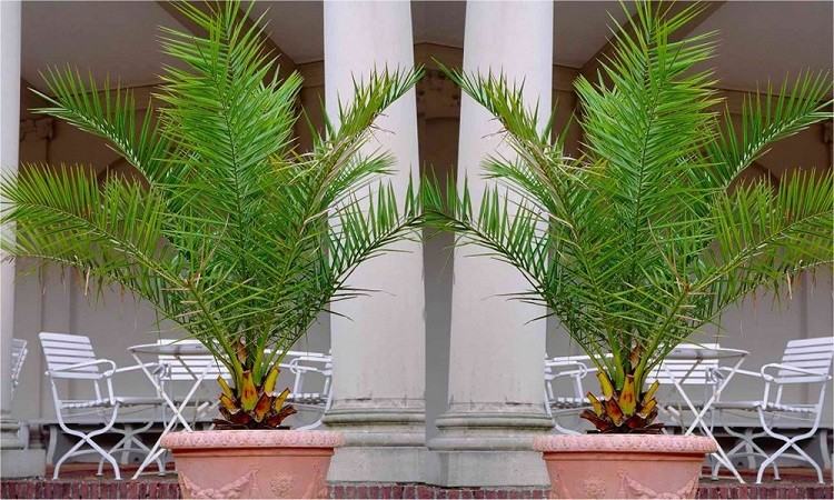 PAIR Of Giant Phoenix Canariensis   Canary Island Date Palm   LARGE PATIO  PALM TREES