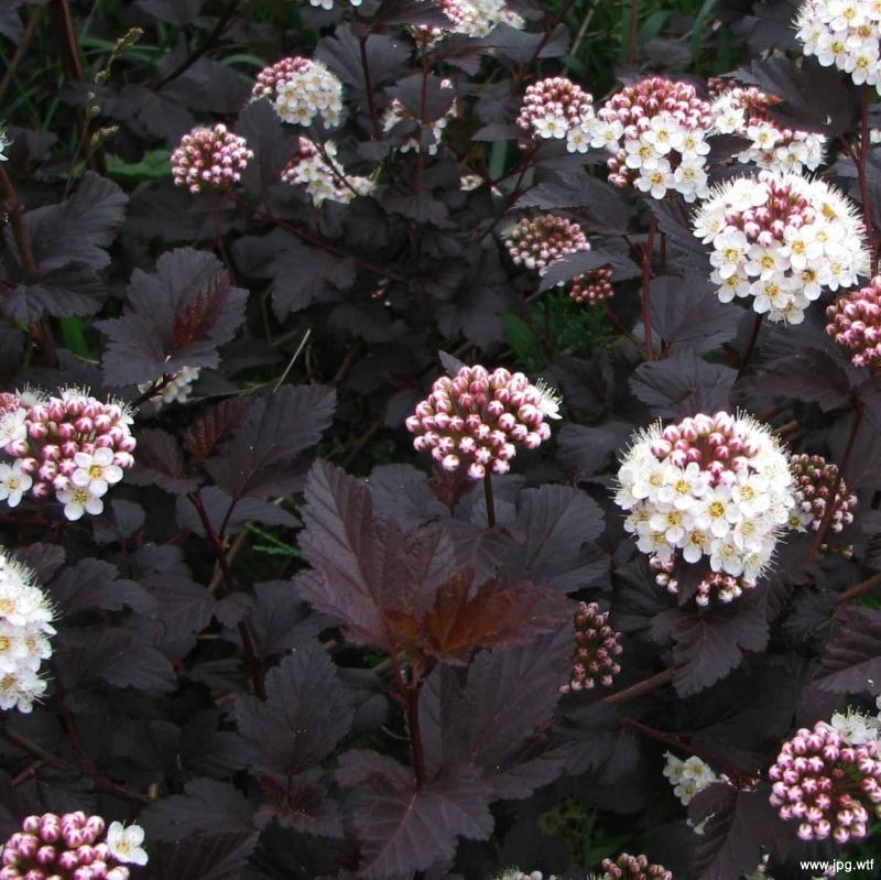 S15313 Physocarpus Opulifolius Diabolo Ninebark on Modern Border