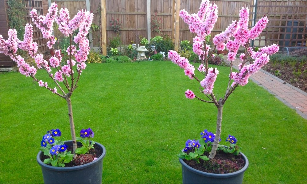 Red Leaf Patio Peach Tree   Amazing Red Leaved Fruiting Peach
