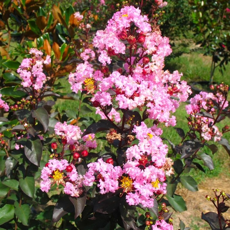 lagerstroemia indica 39 rhapsody in pink 39 crepe myrtle. Black Bedroom Furniture Sets. Home Design Ideas