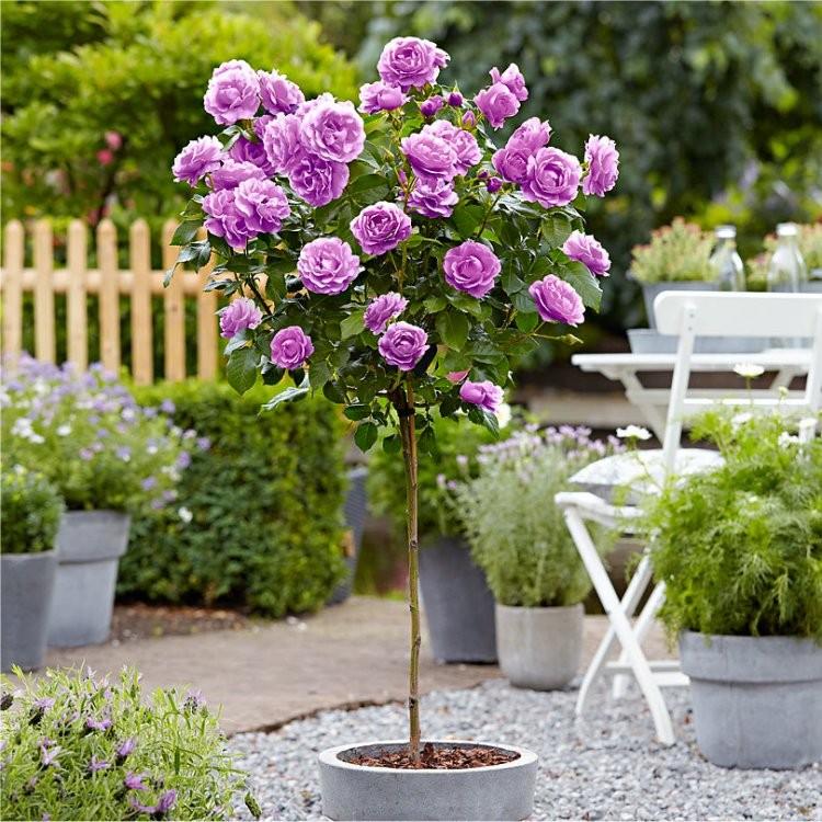 Rose Tree Minerva Large Standard Tree