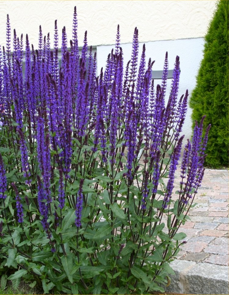 Salvia nemerosa caradonna deep blue hardy salvia for Hearty ornamental grasses