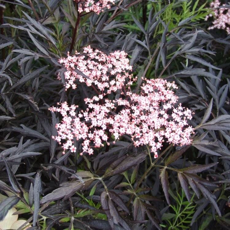 sambucus nigra black lace black elder sambuca plant. Black Bedroom Furniture Sets. Home Design Ideas