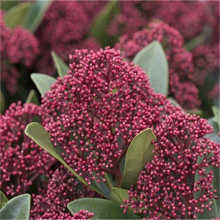 skimmia japonica rubella young plant in bud. Black Bedroom Furniture Sets. Home Design Ideas