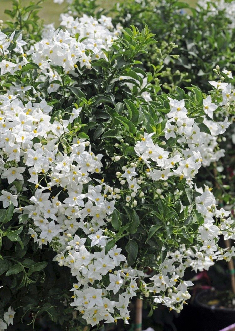 Solanum jasminum album evergreen climber for Garden shrubs