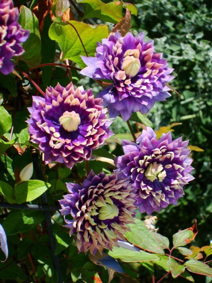 Clematis taiga stunning brand new exclusive taiga for Clematis florida