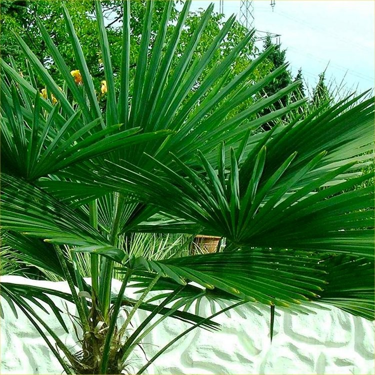 trachycarpus fortunei hardy chusan windmill fan palm. Black Bedroom Furniture Sets. Home Design Ideas