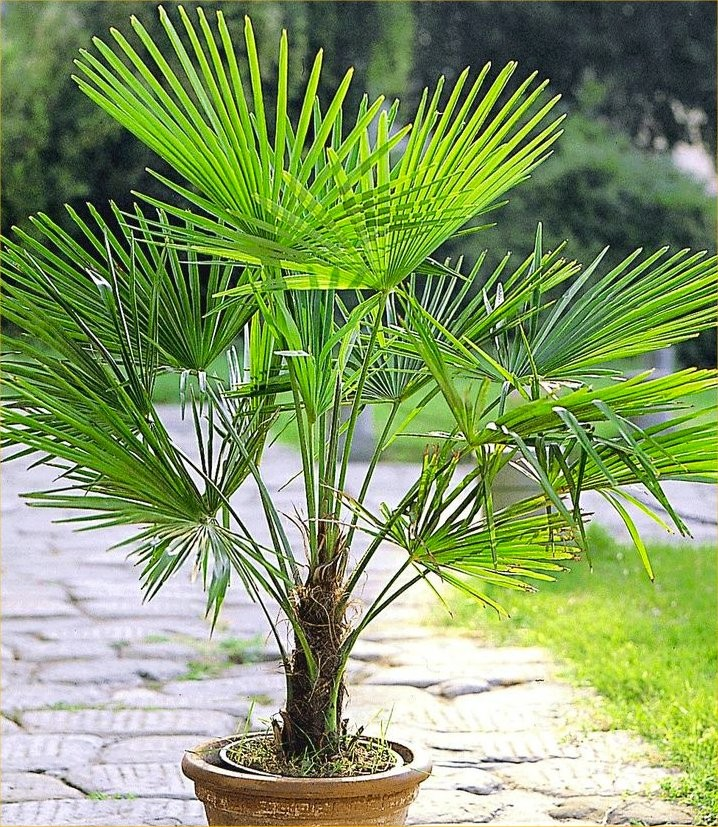 PAIR Of Large Trachycarpus Fortunei   Giant Windmill Fan Palm   LARGE PATIO  PALM TREES