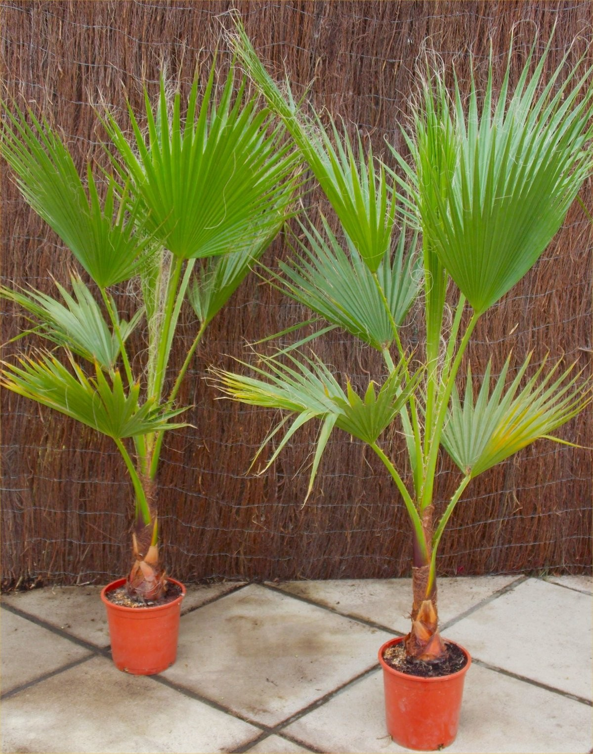 SPECIAL DEAL   Mexican Fan Palms   Washingtonia Robusta For Patio Or Deck    Approx 100 120cms Tall