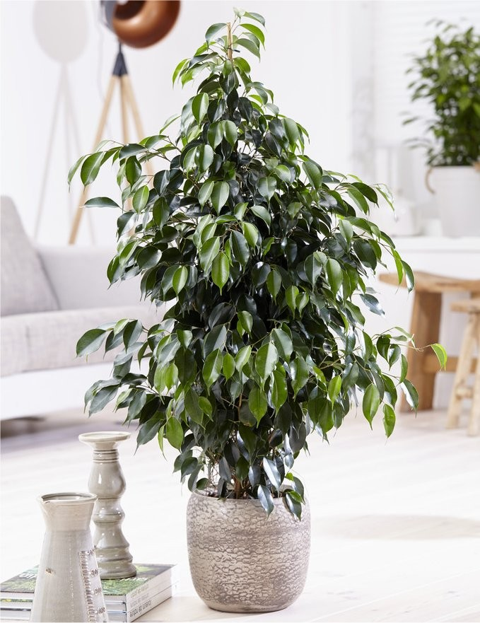 ficus benjamina 39 danita 39 weeping fig tree. Black Bedroom Furniture Sets. Home Design Ideas