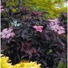 Sambucus nigra Black Beauty - Noir Elder Sambuca Plant
