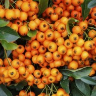 Pyracantha Orange Glow - Firethorn - LARGE Approx 6ft Hedging Pyracantha