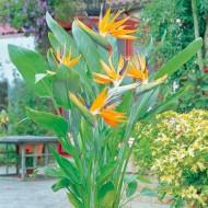 Strelitzia reginae - Bird of Paradise Plant