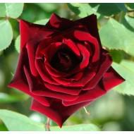 Large 6-7ft Specimen - Climbing Rose Guinee - Deep Velvet Red