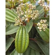 Evergreen Viburnum davidii - Hardy Shrub - LARGE