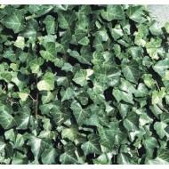 Hedera hibernica - Irish or Boston Ivy - (150-180cms/5-6ft tall) Screening Plants