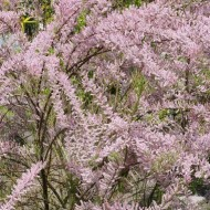 Tamarix Parviflora tetrandra - Tamarisk - LARGE