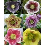 Helleborus Collection of FIVE Orientalis Hellebore Plants
