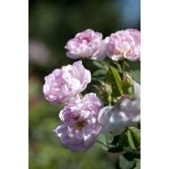 Rose Maidens Blush - Shrub Rose