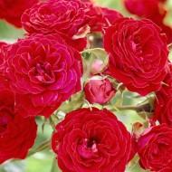 Rose Remembrance - Floribunda Rose