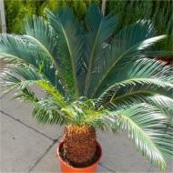Giant Cycad - Cycas revoluta - King Sago Palm Tree Specimen - 60-80cm