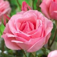 Rose Queen Elizabeth - Floribunda Rose