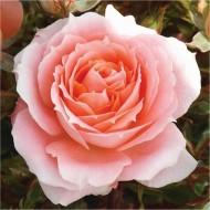 Rose Flower Power - Patio Bush Rose