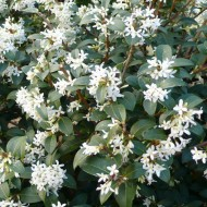 Osmanthus x Burkwoodii - Evergreen Shrub