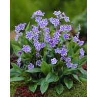Omphalodes cappadocica Starry Eyes - Navelwort