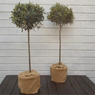 SPECIAL DEAL - PAIR of Premium Quality Standard OLIVE Trees - Olea europea