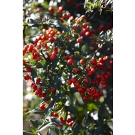 Pyracantha Red Column - Firethorn - LARGE Approx 6ft Hedging Pyracantha