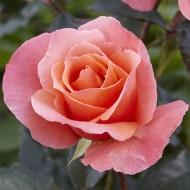 Rose Fragrant Delight - Floribunda Bush Rose