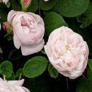 Rose Alfred de Dalmas - Shrub Rose