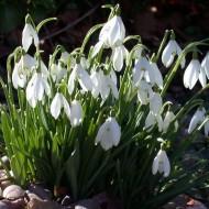 Snowdrops - Galanthus nivalis (var. elwesii)