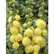 Alcea Chaters Double Yellow - Hollyhock (Althea)