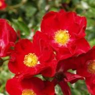 Rose Flower Carpet Red Velvet