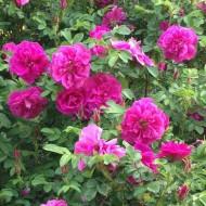 Rose Roseraie de l'hay - Shrub Rose