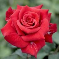 Rose Ruby Wedding - Hybrid Tea Rose
