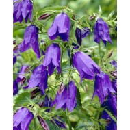 Campanula punctata Purple