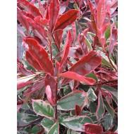 Photinia cassini Pink Marble - Hardy, Evergreen Variegated Red Robin Shrub