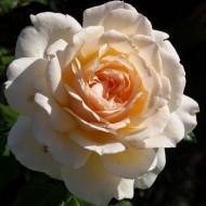Rose Chandos Beauty - Hybrid Tea Rose