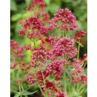 Centranthus ruber coccinea - Red Valerian
